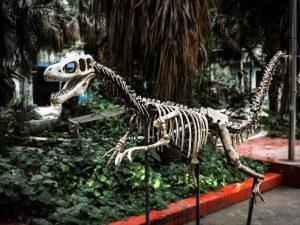 Dinosaur Fossil Replicas Velociraptor Skeleton