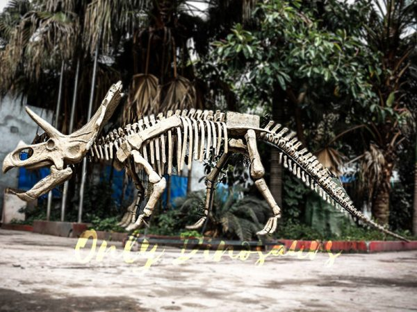 Full Size Triceratops Dinosaur Fossils for sale1