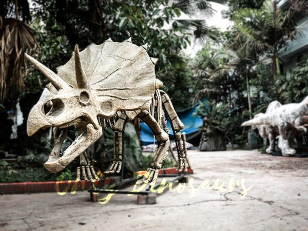 Full Size Triceratops Dinosaur Fossils for sale2