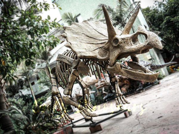 Full Size Triceratops Dinosaur Fossils for sale4