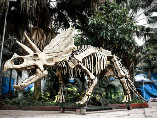 Full Size Triceratops Dinosaur Fossils for sale5