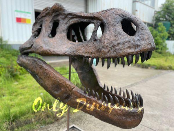 A Dinosaur Skull Fossil on a Shelf